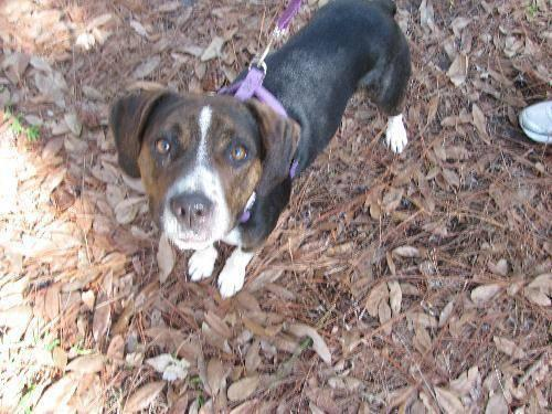 Beagle - Honey Bun - Medium - Young - Female - Dog