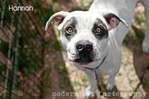 Pit Bull Terrier - Dollface - Medium - Young - Female - Dog