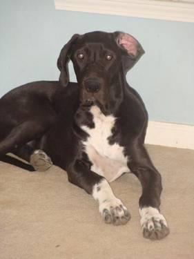 Great Dane - Lucy - Large - Young - Female - Dog