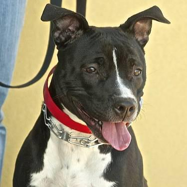 Pit Bull Terrier - Willa - Medium - Young - Female - Dog