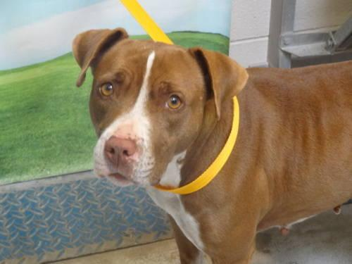 Pit Bull Terrier - Daisy - Medium - Young - Female - Dog
