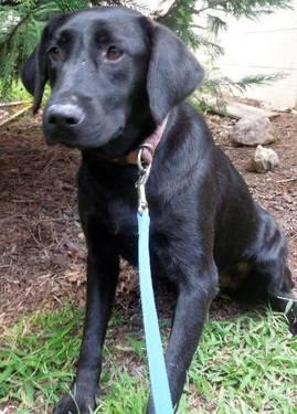 Black Labrador Retriever - Sage - Medium - Young - Female - Dog