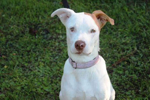 Bull Terrier - Stella - Medium - Young - Female - Dog