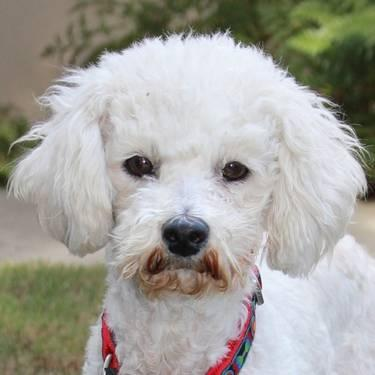 Bichon Frise - Raissa - Medium - Young - Female - Dog
