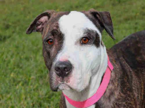 Pit Bull Terrier - Mandy - Medium - Young - Female - Dog