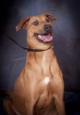 Rhodesian Ridgeback - Frankie - Small - Young - Female - Dog