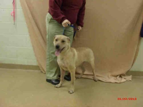 Labrador Retriever - Gwen - Medium - Young - Female - Dog