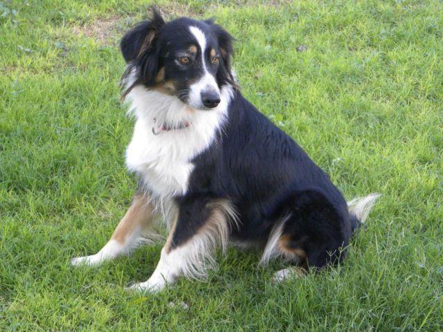 Australian Shepherd - Maya - Large - Young - Female - Dog