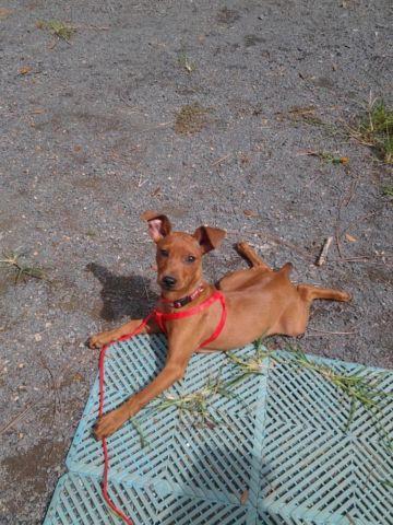 Miniature Pinscher - Cici - Small - Young - Female - Dog