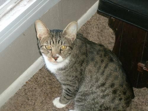 Domestic Short Hair - Burger - Medium - Young - Male - Cat