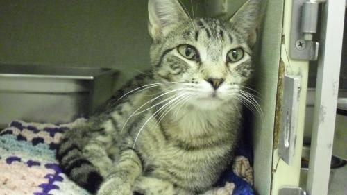 Domestic Short Hair - Donatello - Medium - Young - Male - Cat