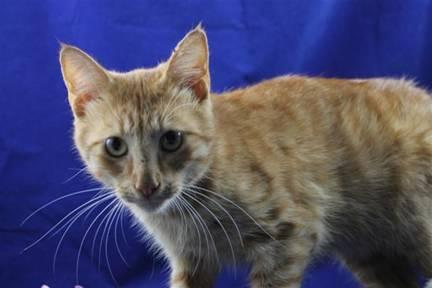 Tabby - Orange - Davey - Medium - Young - Male - Cat