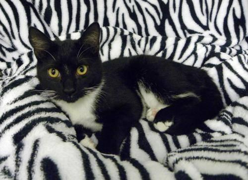 American Shorthair - Barnabas - Small - Young - Male - Cat