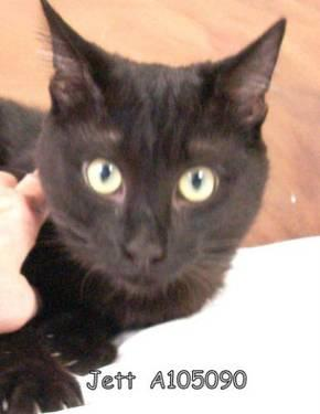Domestic Short Hair - Jett - Medium - Young - Male - Cat