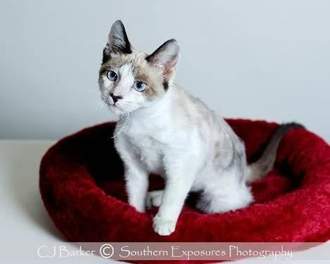 Siamese - Prince #11514 - Medium - Young - Male - Cat