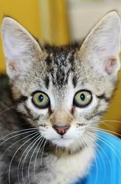 Domestic Short Hair - Dustin - Medium - Young - Male - Cat