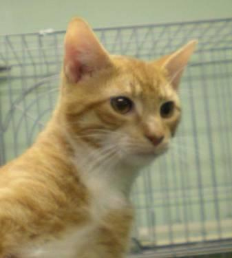 Domestic Short Hair - Sheldon - Medium - Young - Male - Cat