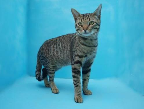 Domestic Short Hair - Leonard - Medium - Young - Male - Cat