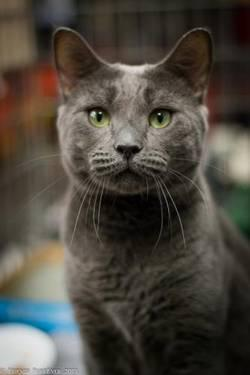 Russian Blue - Valentine - Medium - Young - Male - Cat