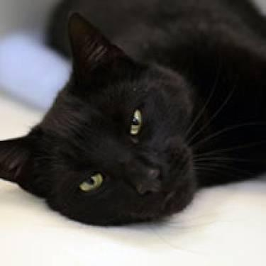 Domestic Short Hair - Henry - Medium - Young - Male - Cat