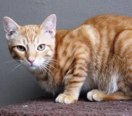 Domestic Short Hair - Austin - Medium - Young - Male - Cat