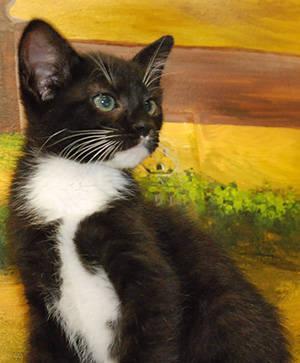 Domestic Short Hair - Dozer - Medium - Young - Male - Cat