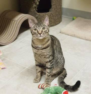 Tabby - Brown - Daryl - Medium - Young - Male - Cat