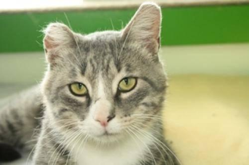 Domestic Short Hair - Judge - Medium - Young - Male - Cat