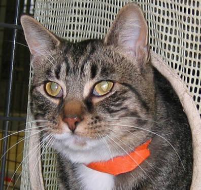 Domestic Short Hair - Skippy - Medium - Young - Male - Cat