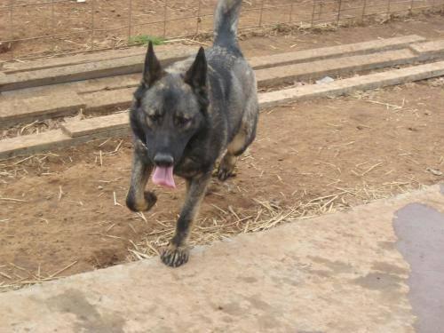 German Shepherd Dog - Apache - Large - Young - Male - Dog