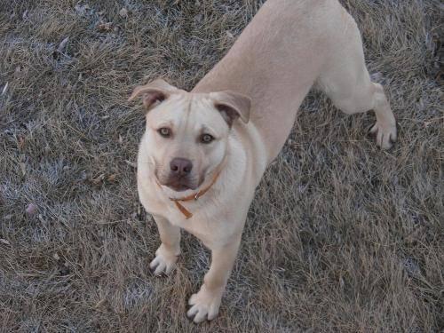 Labrador Retriever - Frankie - Large - Young - Male - Dog