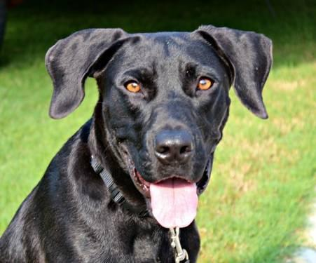 Labrador Retriever - Barney - Large - Young - Male - Dog