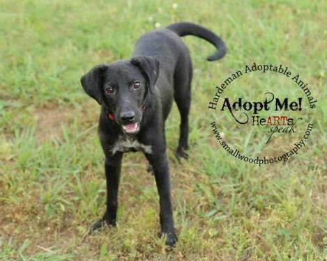 Labrador Retriever - Rafiki #6467 - Medium - Young - Male - Dog