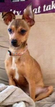 Miniature Pinscher - Bambi - Small - Young - Male - Dog