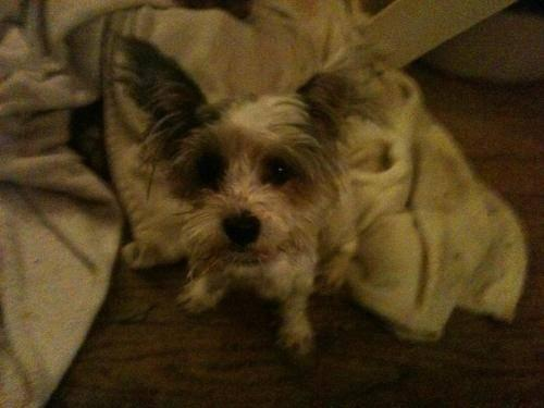 Yorkshire Terrier Yorkie - Cappy - Small - Young - Male - Dog