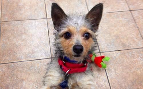 Yorkshire Terrier Yorkie - Luffy - Small - Young - Male - Dog