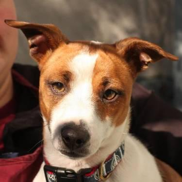 Jack Russell Terrier - 14502_tex - Small - Young - Male - Dog