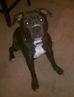 Mountain Cur - Hatter - Medium - Young - Male - Dog