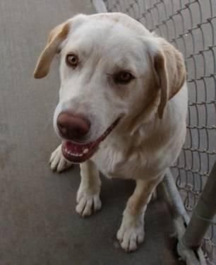 Labrador Retriever - Atticus - Large - Young - Male - Dog