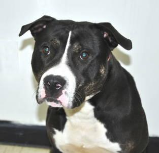 Pit Bull Terrier - Monty - Medium - Young - Male - Dog