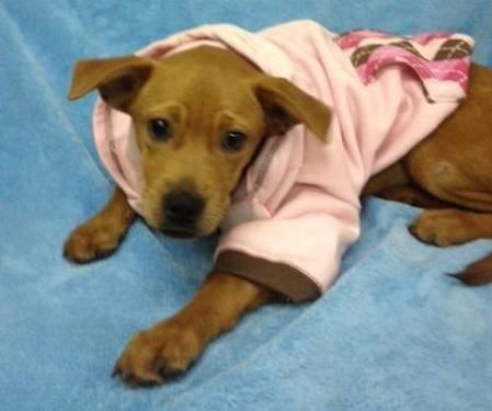 Boston Terrier - Elijah - Medium - Young - Male - Dog