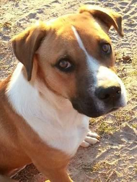 Boxer - Rambo *loves Kids* - Large - Young - Male - Dog