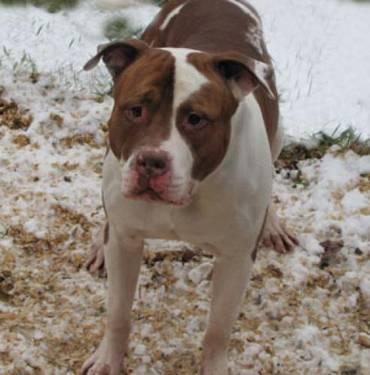 American Bulldog - Rex - Large - Young - Male - Dog