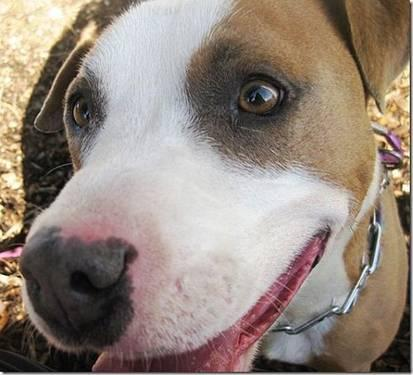 Pit Bull Terrier - Rocket - Medium - Young - Male - Dog