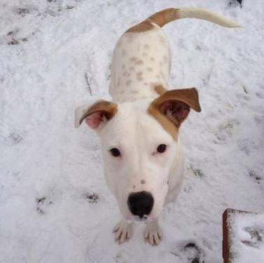 Pit Bull Terrier - Scout - Medium - Young - Male - Dog