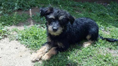 Yorkshire Terrier Yorkie - Bailey - Small - Young - Male - Dog