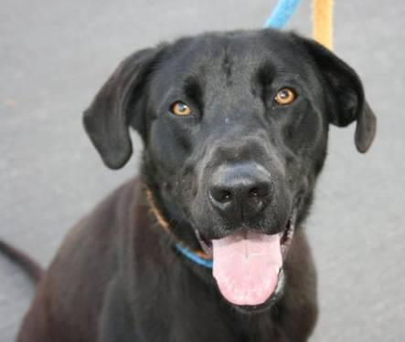 Labrador Retriever - Magic - Large - Young - Male - Dog