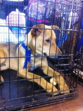 Shepherd - Adrian *needs Foster* - Medium - Young - Male - Dog
