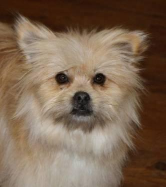 Shih Tzu - Leon - Medium - Young - Male - Dog