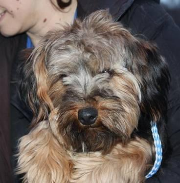 Yorkshire Terrier Yorkie - Ziti - Small - Young - Male - Dog